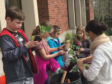 Students get ready to plant cabbage plants